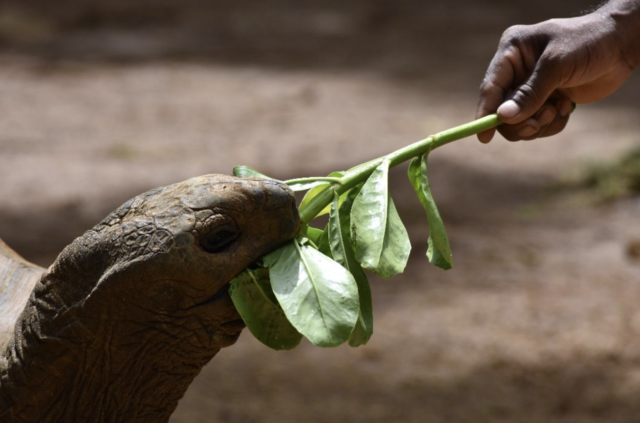 Tortoise that gets fed