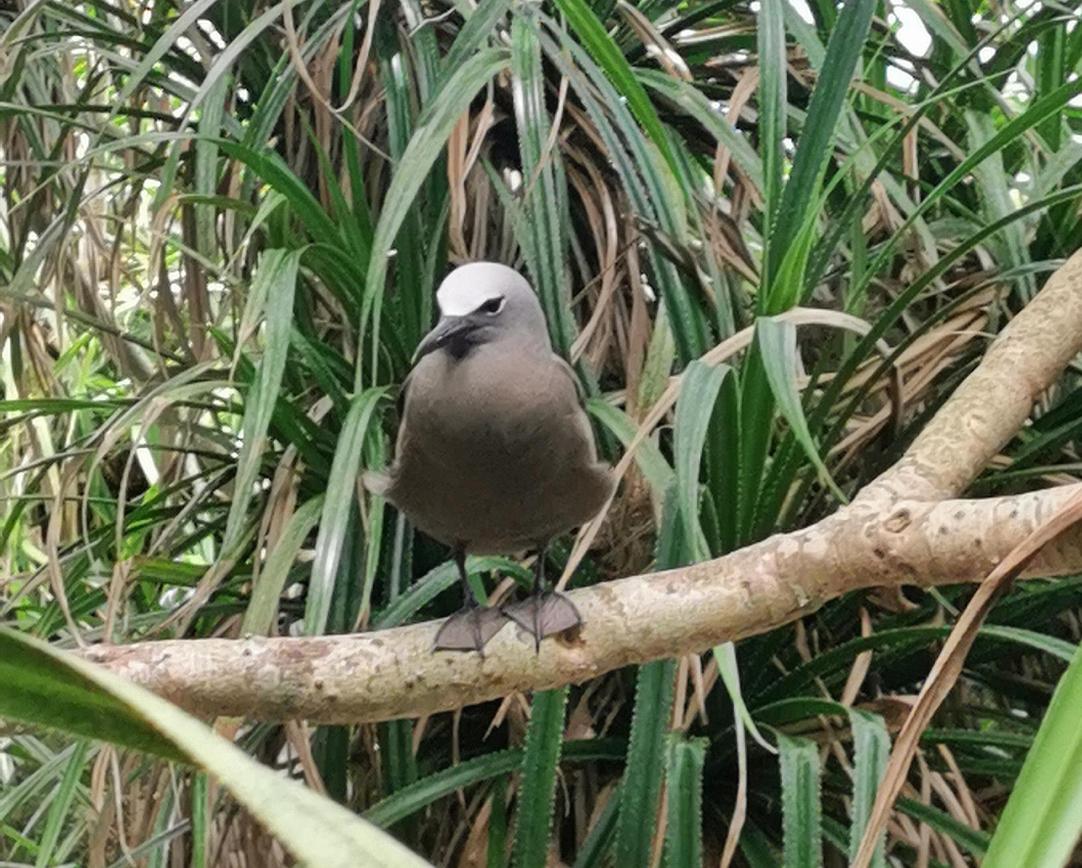 Seychellerna fåglar